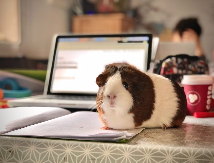 Guinea pig in front of a laptop